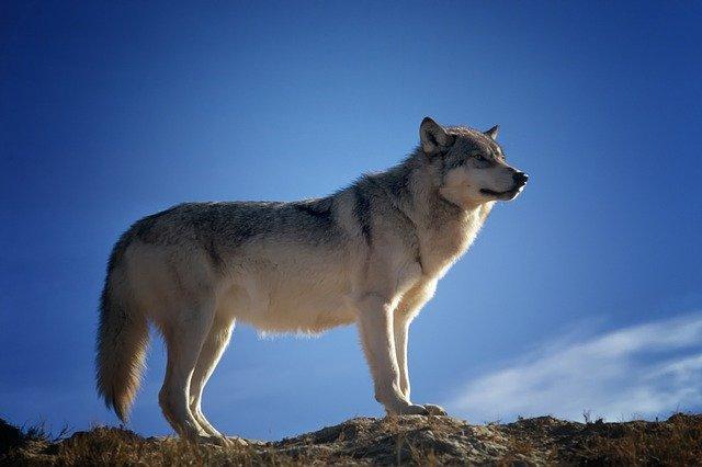 זאב על פסגות ההרים